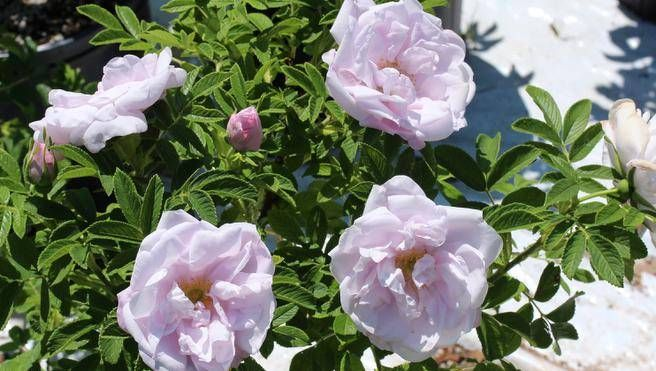 Image Result For Snow Pavement Rose Rose Flowers Garden