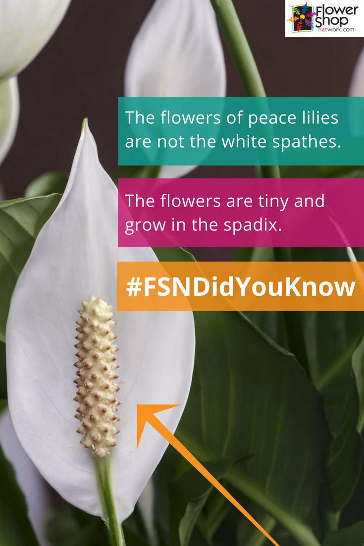 Unlike many people think the flowers of peace lilies are not the unlike many people think the flowers of peace lilies are not the white spathes on top the flowers are tiny and grow in the spadix mind blowing right izmirmasajfo