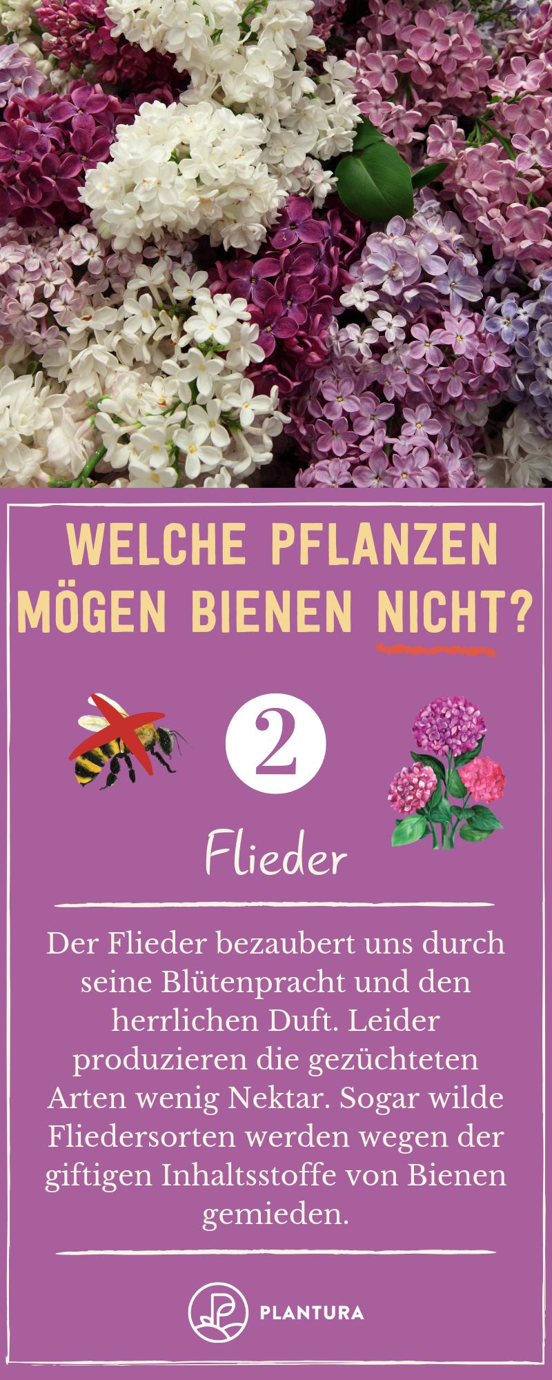 Welche Pflanzen mögen Bienen nicht | Pflanzen, Flieder ...