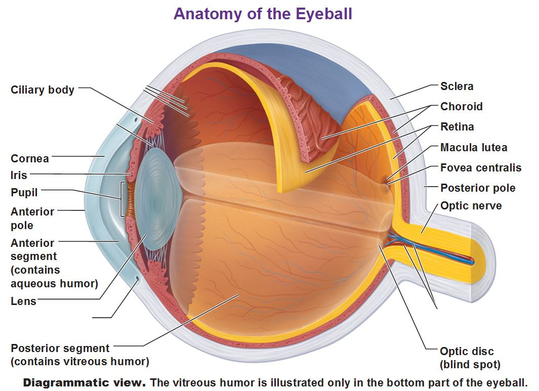 medium resolution of accessory structures of the eye extrinsic eye muscles anatomy of the eyeball and microscopic anatomy of the retina