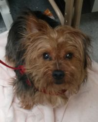 Spikey: Yorkshire Terrier Yorkie, Dog; New York, NY #rescue #adopt He was saved from a kill shelter but still needs a forever home