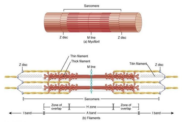 A Sarcomere Is A Function Unit Of Muscle And Is Made Up Of Multiple Thick Filament And Thin Filam Muscular System Human Skeleton Anatomy Anatomy And Physiology