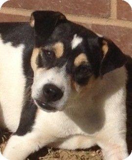 Morrisville Vt Beagle Mix Meet Robbie A Puppy For Adoption Pets Beagle Mix Beagle