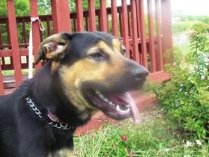 Lucky Is An Adoptable German Shepherd Dog Dog In Dubuque Ia Lucky Is A 2 Year Old German Shepherd Rottweiler Mix Who Was Found As A Stray H Rottweiler Mix German Shepherd