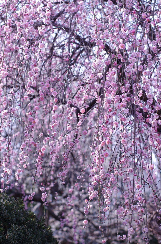 Weeping Plums By Cyan Stella 500px Flowering Trees Beautiful Tree Beautiful Flowers