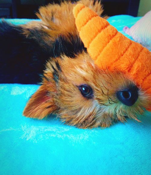 10 Things Only A Norwich Terrier Owner Would Understand American Kennel Club Norwich Terrier Norfolk Terrier Terrier