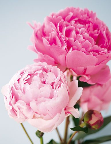 Pfingstrosen Die Ballkniginnen unter den Blumen Blumen