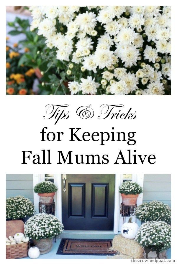 Tips Tricks For Keeping Mums Alive Gardening Fall