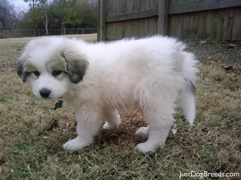 Sophie Great Pyrenees Great Pyrenees Dog Great Pyrenees