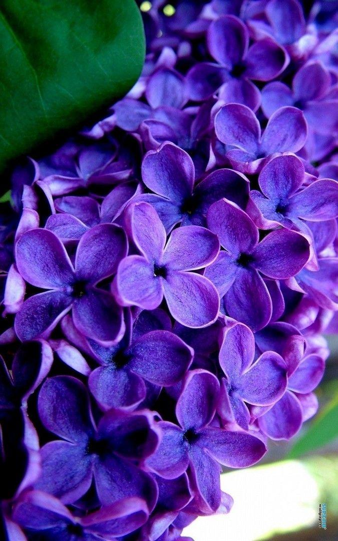 Purple Lilac Flower Wallpaper iPhone Purple flowers