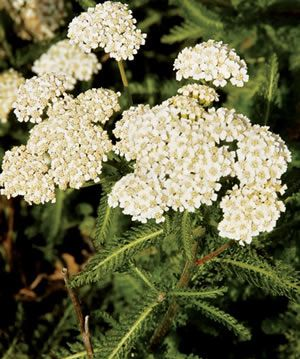 Yarrow: Ancient healing herb, used by many cultures worldwide for stopping bleeding, healing wounds, breaking fevers, and helping headaches, colds and flus. A handful of leaves in the bath soaks out aches and pains. Excellent butterfly and beneficial insect plant, with big flat clusters of small flowers--the shape butterflies prefer for landing and nectar-gathering. Forms a mat of roots and lacy leaves that holds soil and allows moisture to penetrate.