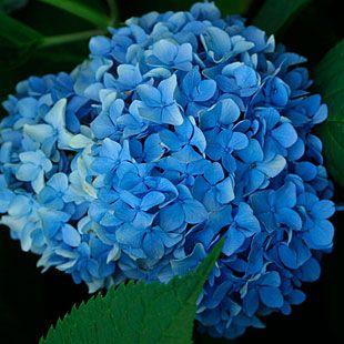 Bigleaf Hydrangea Hydrangea Macrophylla Nikko Blue Hydrangea Bigleaf Hydrangea