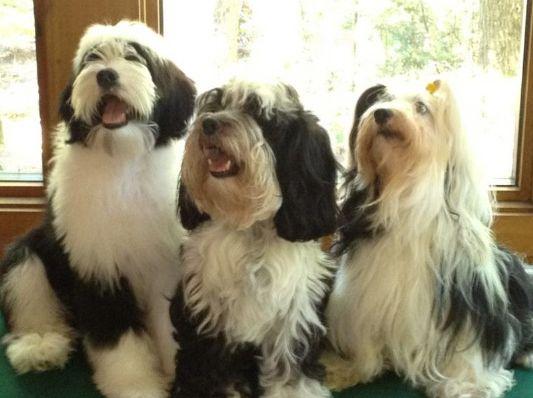 Tibetan Terrier Tibetan Terrier Terrier Cute Dogs