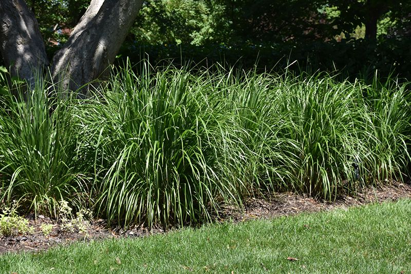 Find Korean Reed Gr Calamagrostis Brachytricha In Denver Arvada Wheat Ridge Golden Lakewood Colorado