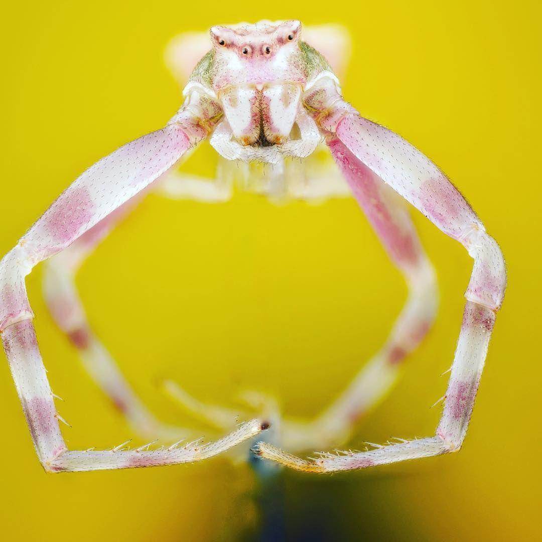 العنكبوت السلطعوني الوردي Thomisus Onustus Pink Crab Spider هذا النوع يظهر إزدواج الشكل الجنسي من حيث الحجم والتلوين يبلغ الذكور البالغين طول الجسم من 2 إلى