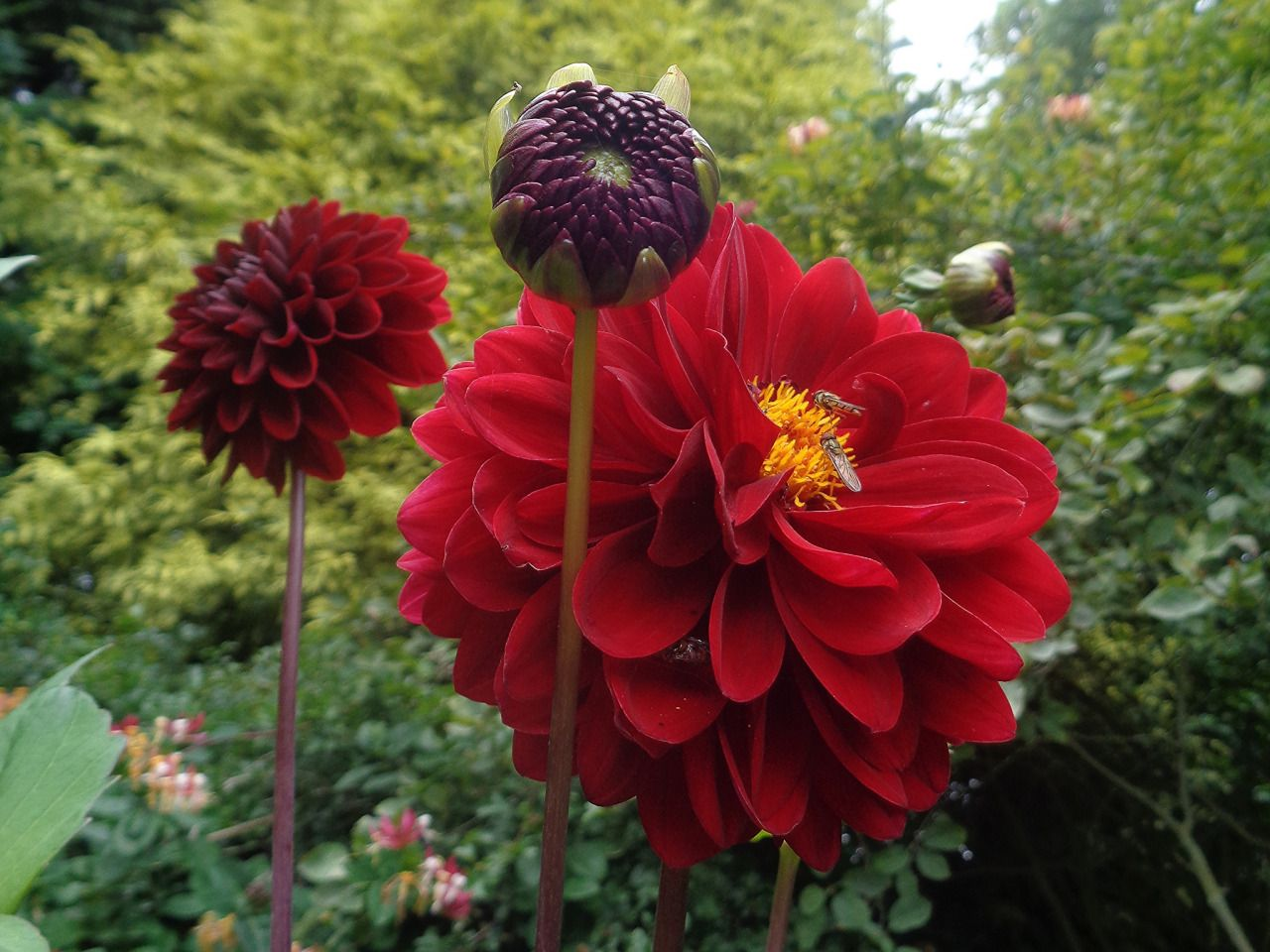 The Plant House With Images Plants Red Flowers Dahlia