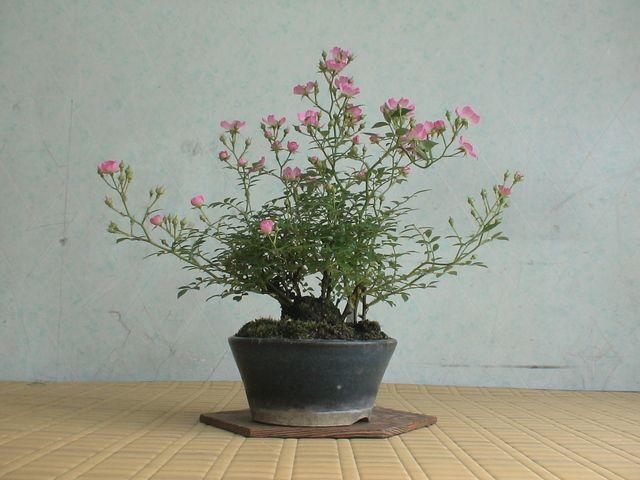 咲き始めた《ノイバラ》です。NO.4443ここをクリックすると色々の方の盆栽ブログを見ることが出来ます。にほんブログ村