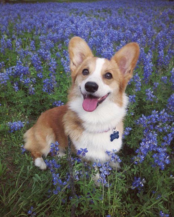 Cute Dog Puppy Samoye Happy Lovely Little Corgi Husky Alaska Golden Retriever Corgi Cute Corgi Corgi Dog