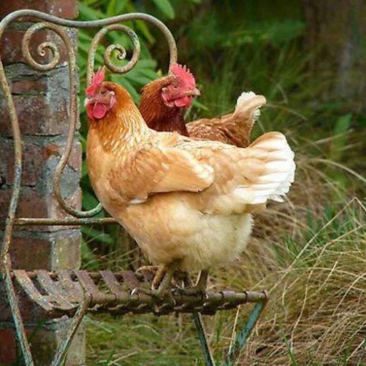 o n . t h e . f a r m … Hinterhofhühner, Hühner als