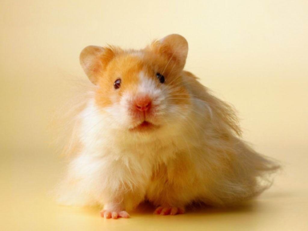 Teddy Bear Hamster Hamsters Pets Animals Bear Hamster Hamster Care Funny Hamsters