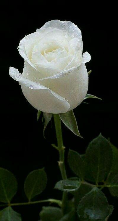Gorgeous pink and white rose. | Rosas, Flores bonitas ...  |Beautiful White Rose Flowers