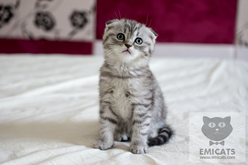 Gray Scottish Fold Kitten Scottish Fold Kittens Scottish Fold Feline