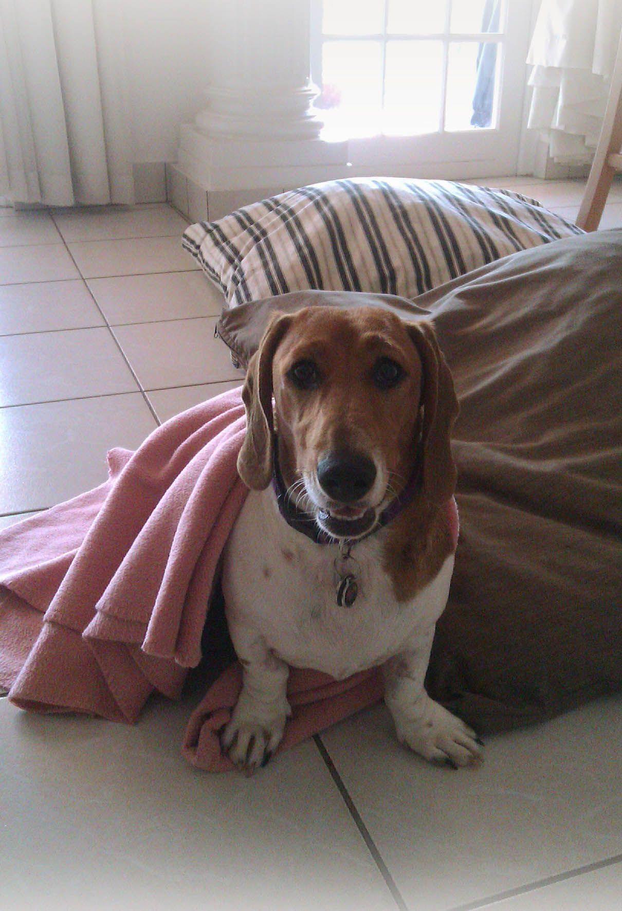 The Cutest Basschshund Basset X Dachshund Around Pyra
