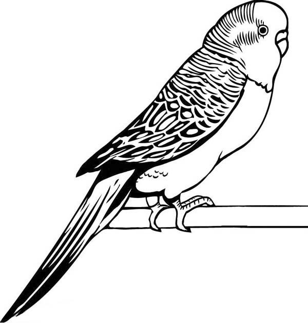 Parakeet Awesome Drawing Of Parakeet Coloring Page Awesome
