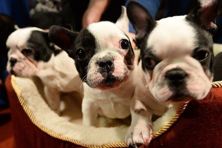 A French Bulldog Cafe Is Popping Up In London And I Need To Go