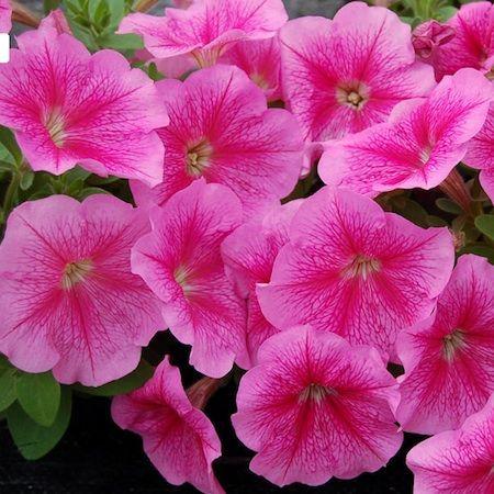 Petunia Seeds 130 Varieties Annual Flowers Seeds Annual Flowers Flower Seeds Petunias