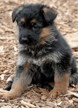 how to train a german shepherd puppy pdf