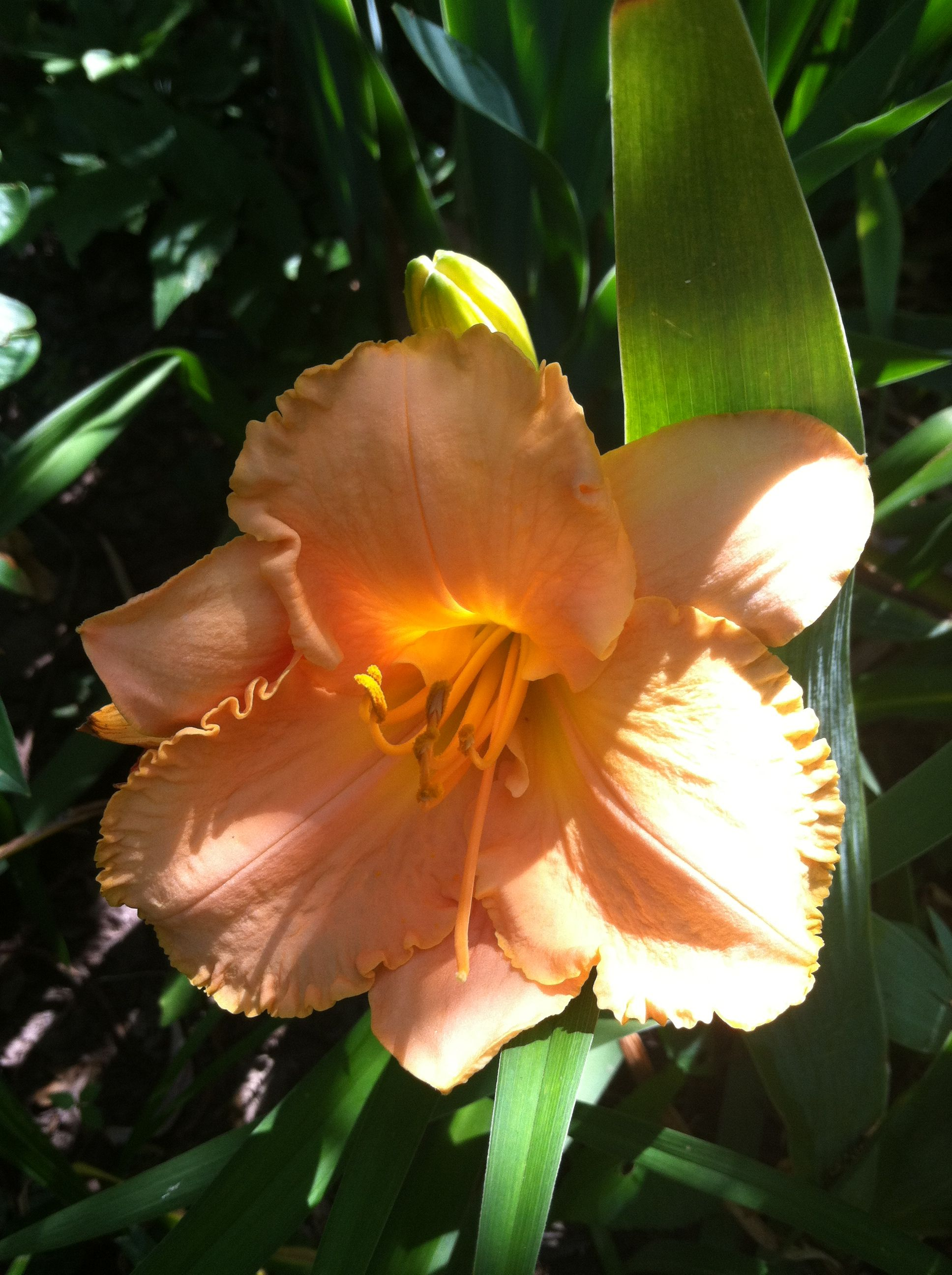 Pale Moon Garden I Planted This Type Day Lily In My Moon Garden
