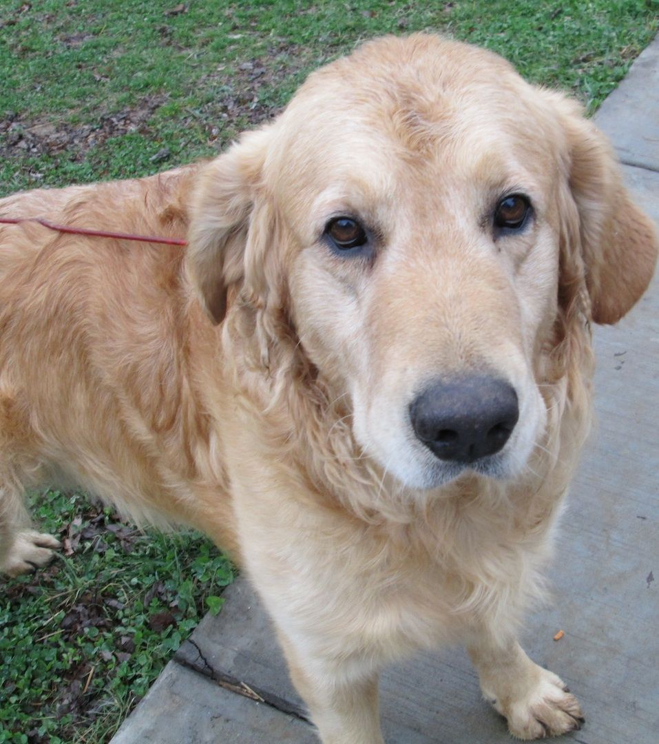 Tennessee Meet Crush A Adult Goldenretriever Dog He Is An