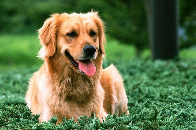 Find Golden Retriever puppies for sale with pictures from