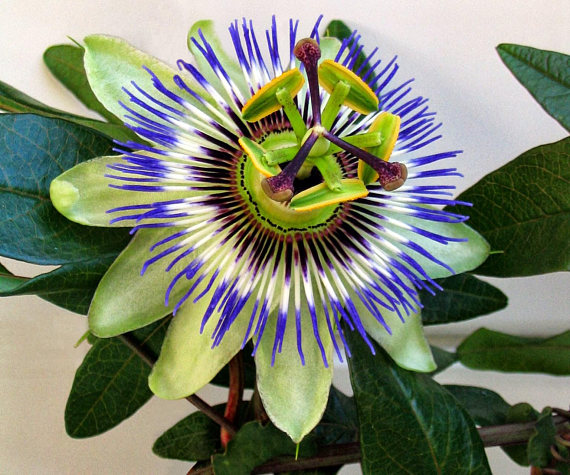 Blue Passion Flower 5 Seeds Passiflora Caerulea Etsy Passiflora Caerulea Passion Flower Blue Passion Flower