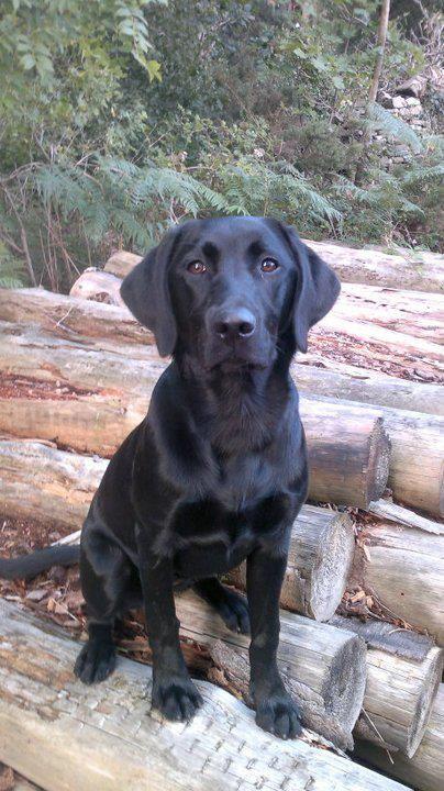 Looks Like My Dog Jetta 1 2 Black Lab 1 2 Golden Retriever 3