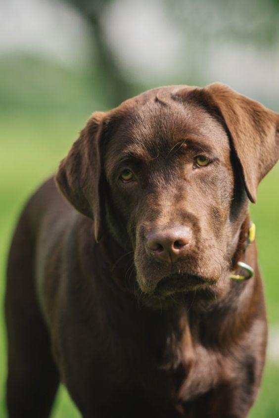 Pin By Sydney Sorenson On Pets I Want Labrador Retriever Labrador Labrador Dog
