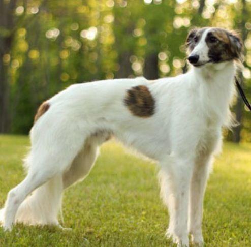 Long Haired Whippet Whippet Best Pet Dogs Whippet Dog