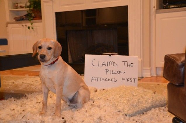Benny Cockerretriever Mix Dog Shaming Photos Dog Shaming