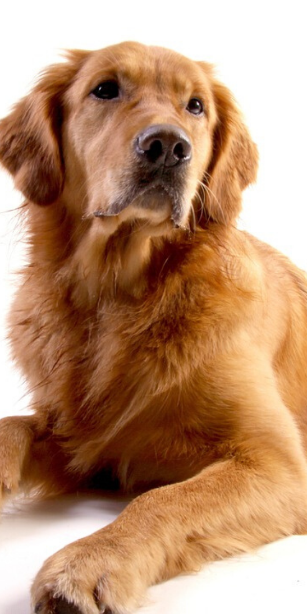 Heavenly Adorable And Cutest Dog Breeds That Will Leave Your Eyes Wide Open Golden Retriever Dog Breeds Golden Retriever Breed