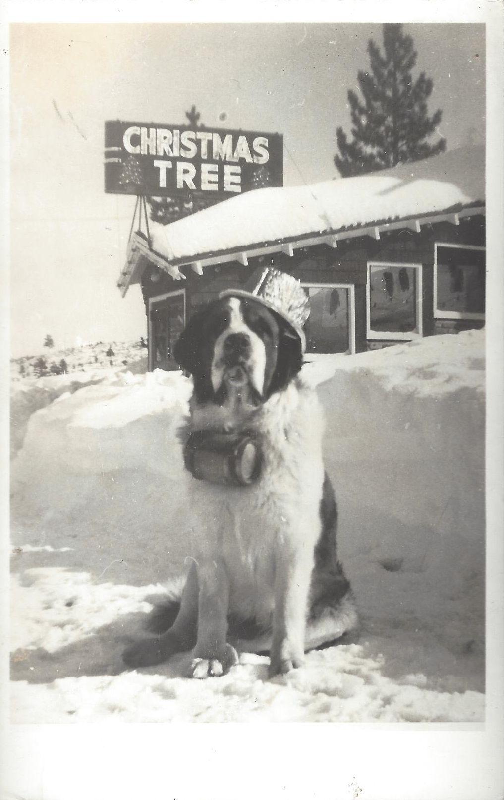 Saint Bernard Puppies For Sale Craigslist Nc References