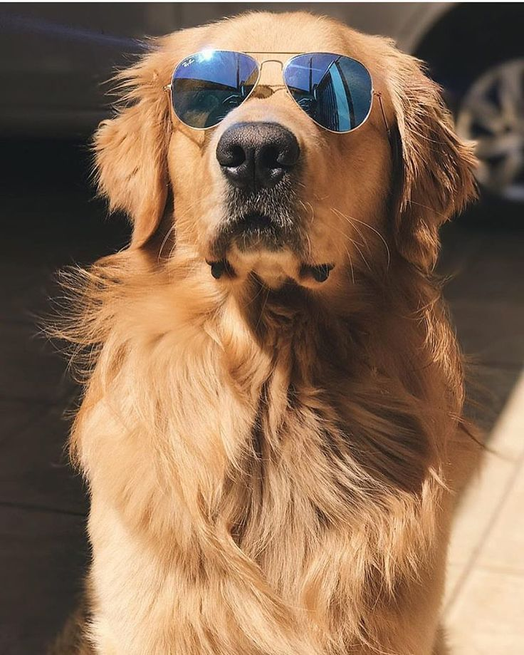 8220 When Your Dog Wears It Better Than You Goldenretriever