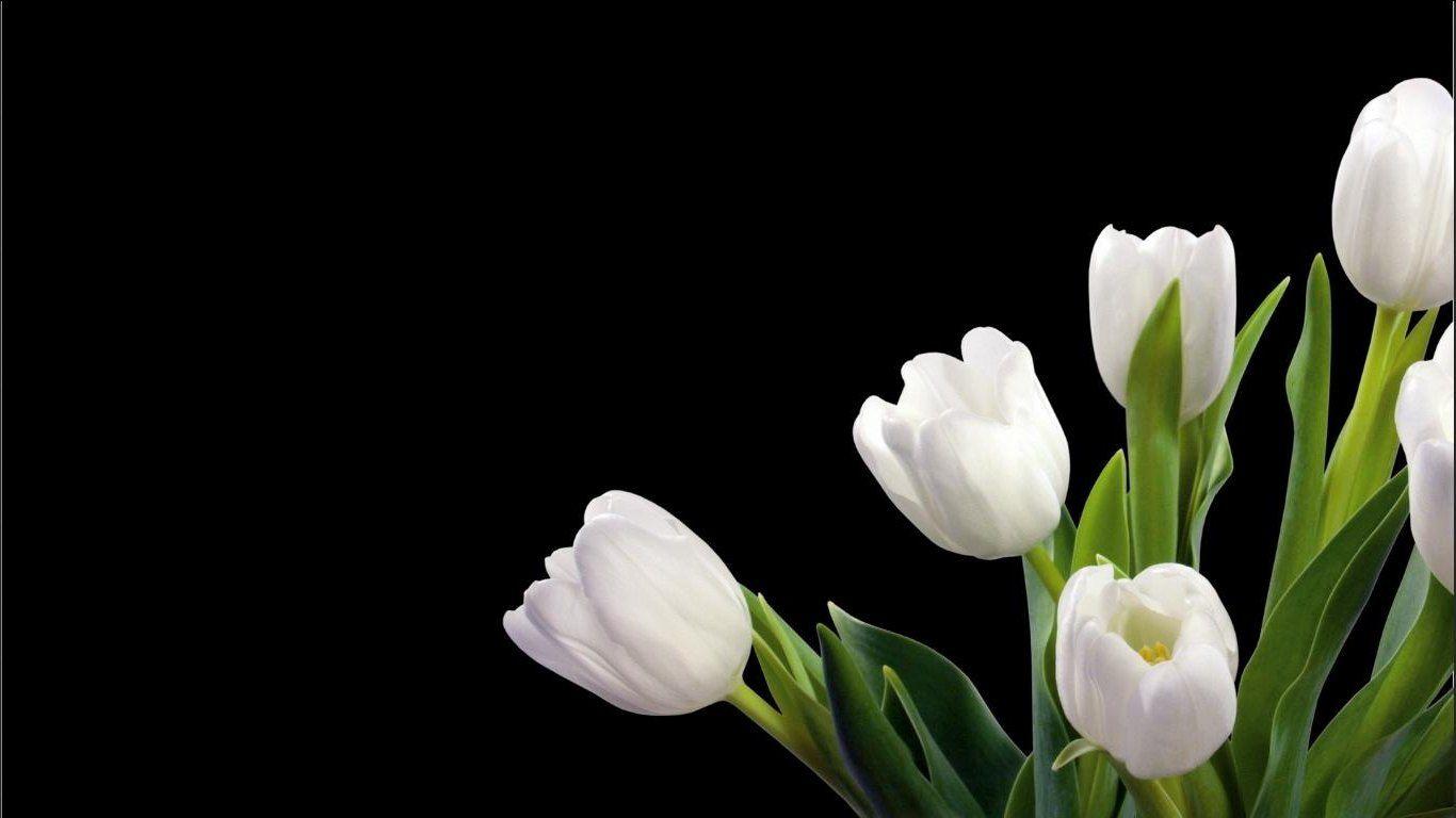 Unduh 5300 Wallpaper Bunga Tulip Vektor HD Gratid