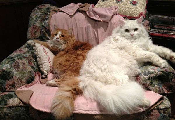 Siberian Cats Kittens For Sale In Texas Hypoallergenic Cats