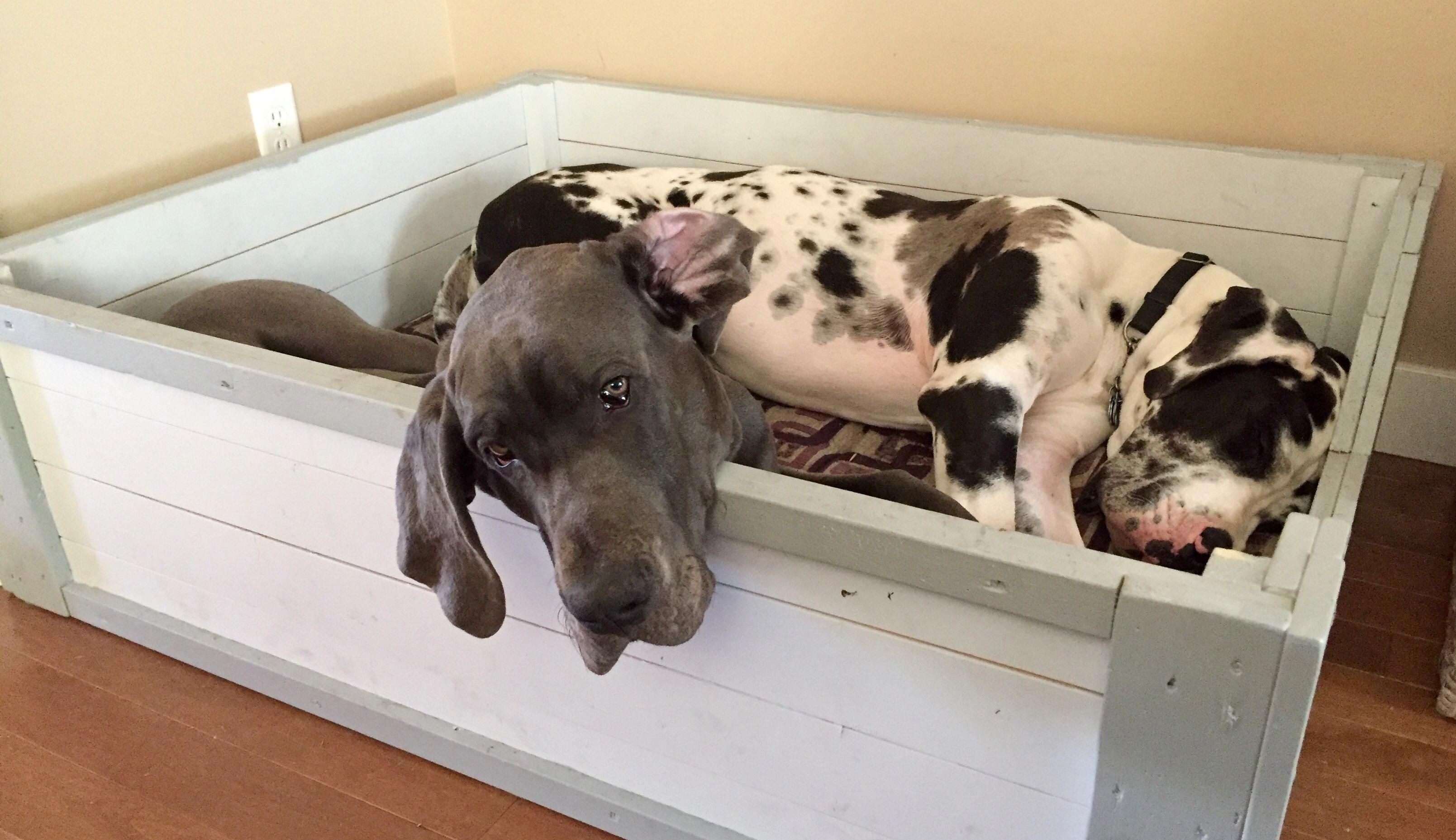Great Dane Moments Greatdanemoments Instagram Posts Videos