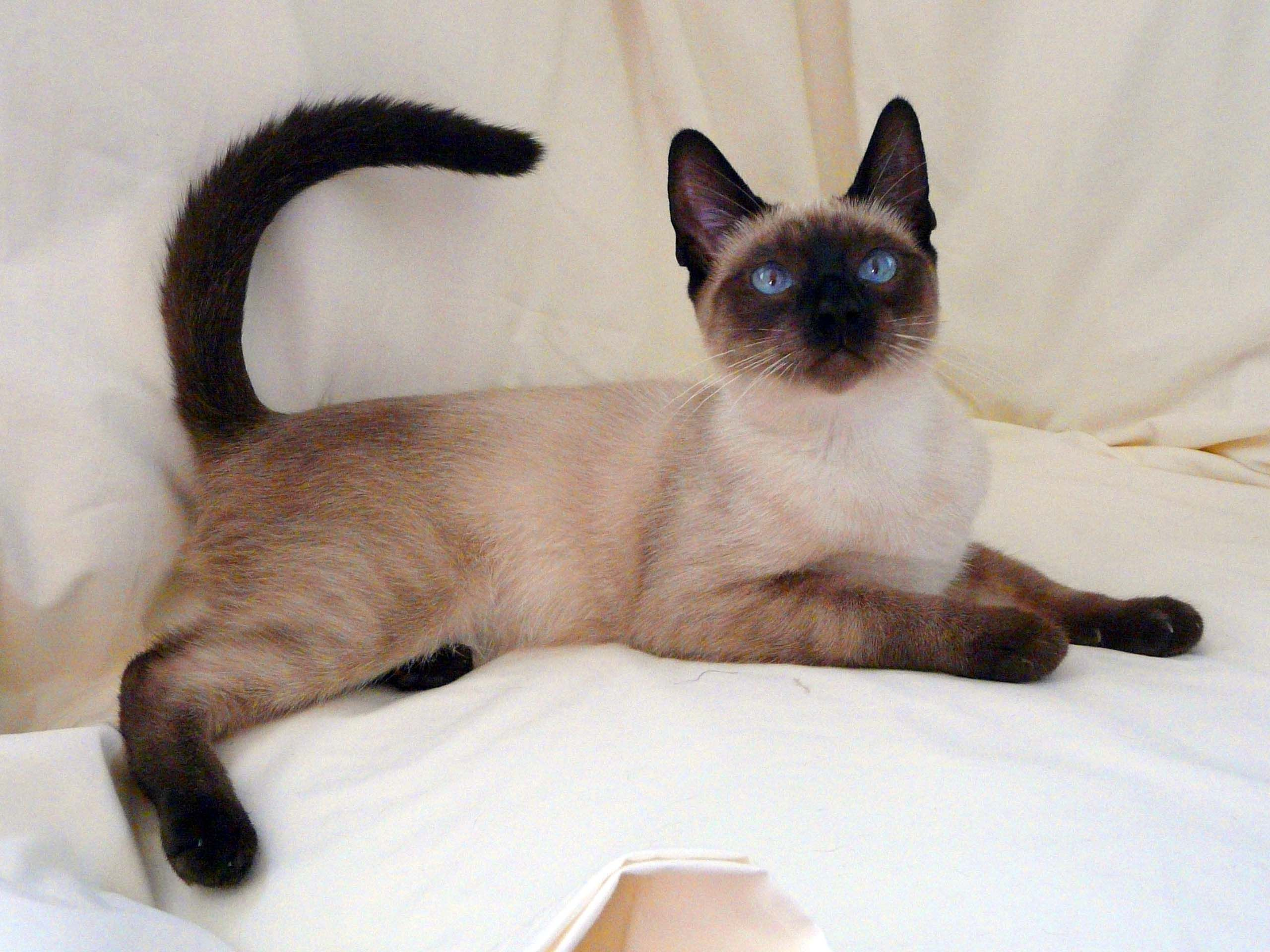 An Applehead Siamese Cat Siamese Cats Facts Siamese Cats