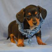 Mini Male Dachshund Puppy For Sale Boca Raton Fl Must See Puppy