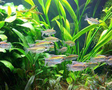 Congo Tetra Phenacogrammus Interruptus Species Aquarium Fish Fresh Water Fish Tank Live Aquarium Plants