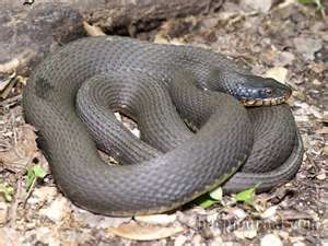 Missouri Snakes Snake Image Image Search