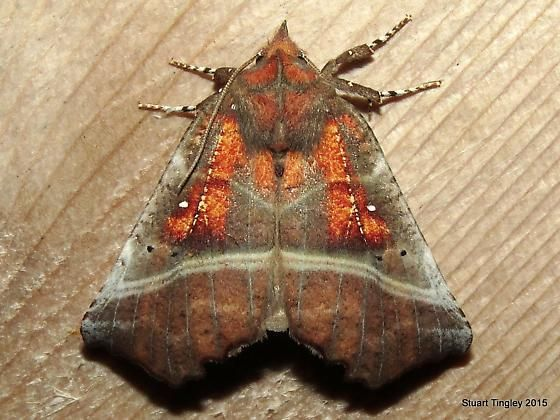herald moth - Google Search